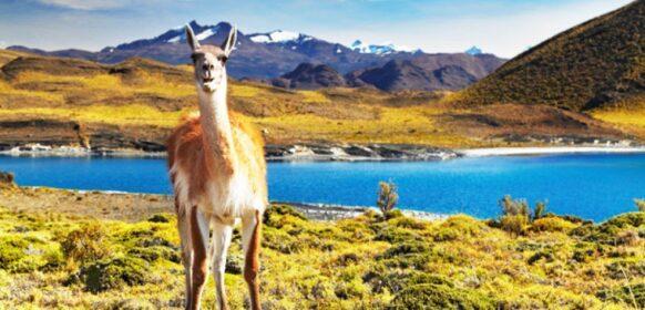 Un lama au Chili