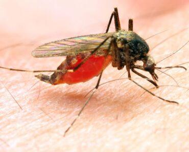 malaria moustique