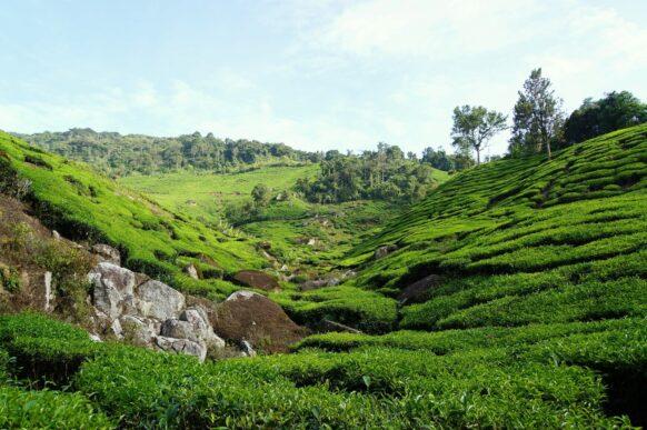 Plantation de thé Malaisie Cameron Highlands
