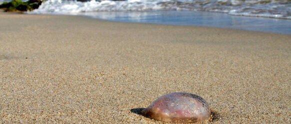 Les plages infestées par les méduses